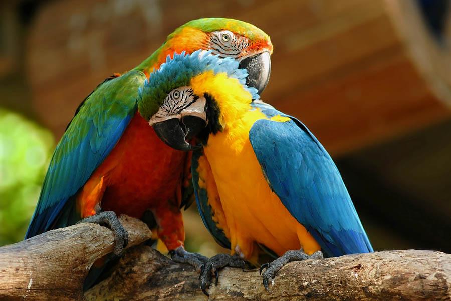 papageienpärchen foto  bild  tiere zoo wildpark