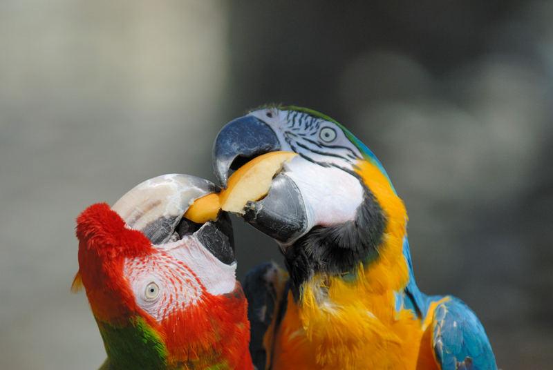 Papageienschnäbel