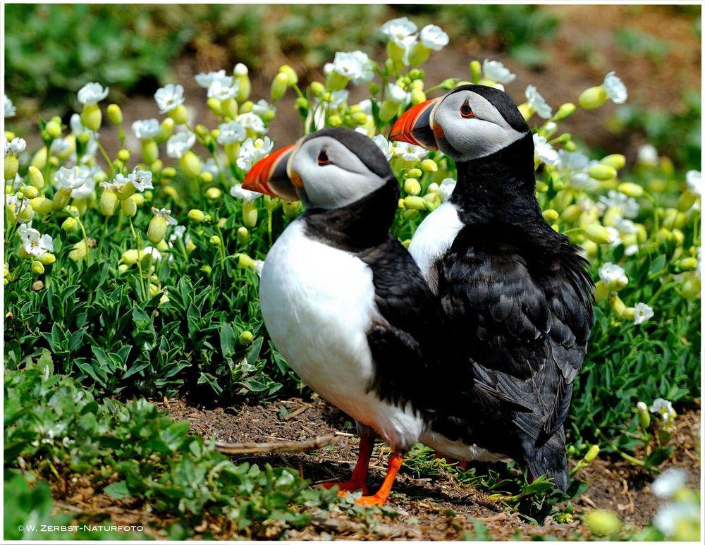 --- Papageitaucher-Paar --- ( Fratercula arctica )