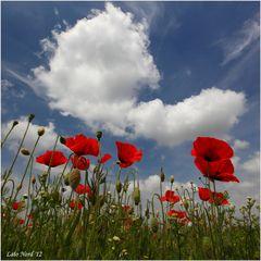 papaveri e nuvole (4)