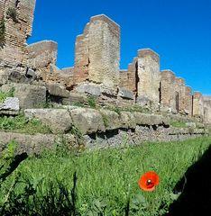 Papavero solitario ad Ostia Antica