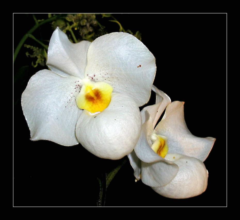 Paphiopedilum armeniwhite