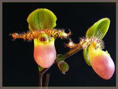 Paphiopedilum-Hybride