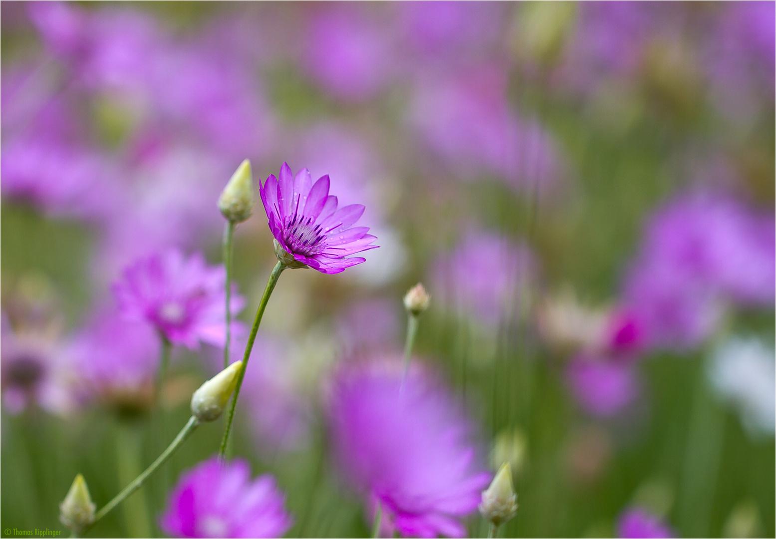 Papierblume (Xeranthemum annuum)....