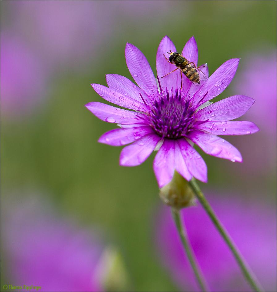 Papierblume (Xeranthemum annuum).......