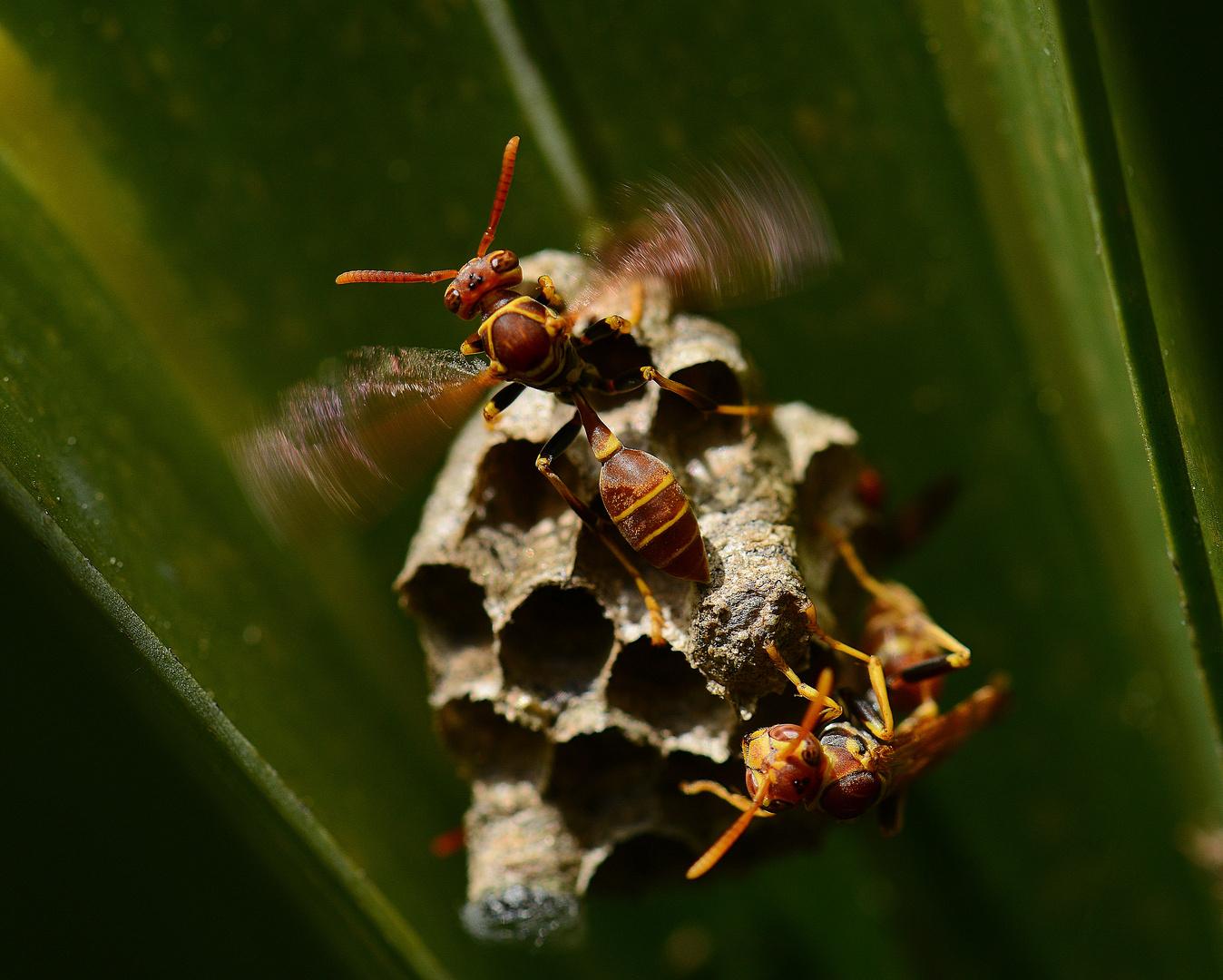 Papierwespe schwirrt am Nest