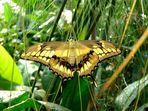 Papilio...
