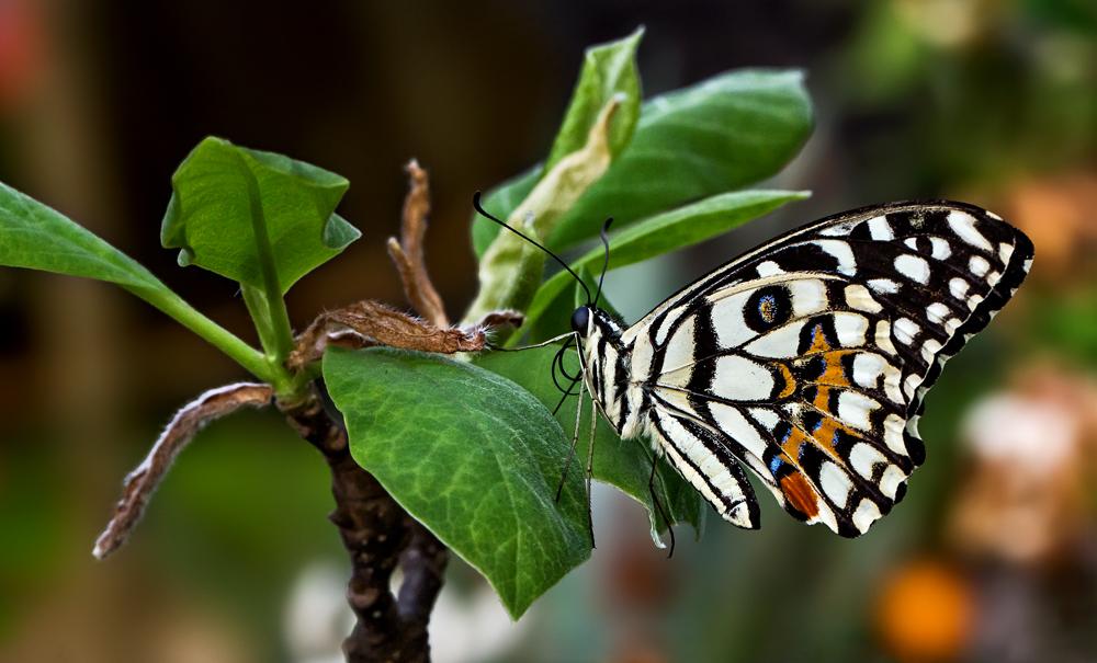 Papilio demoleus ...