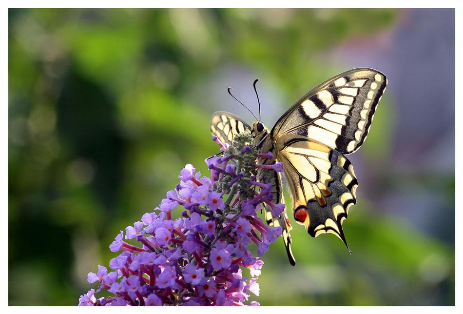 Papilio im Licht