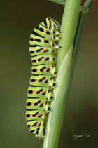 Papilio macaon