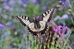 Papilio machanon bei seinem Morgenbesuch