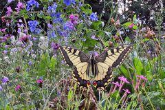 Papilio  machanon - Schwalbenschwanz mit 17mm aufgenommen...