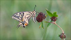 [  Papilio machaon ]