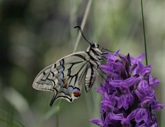 Papilio machaon an Orchidee