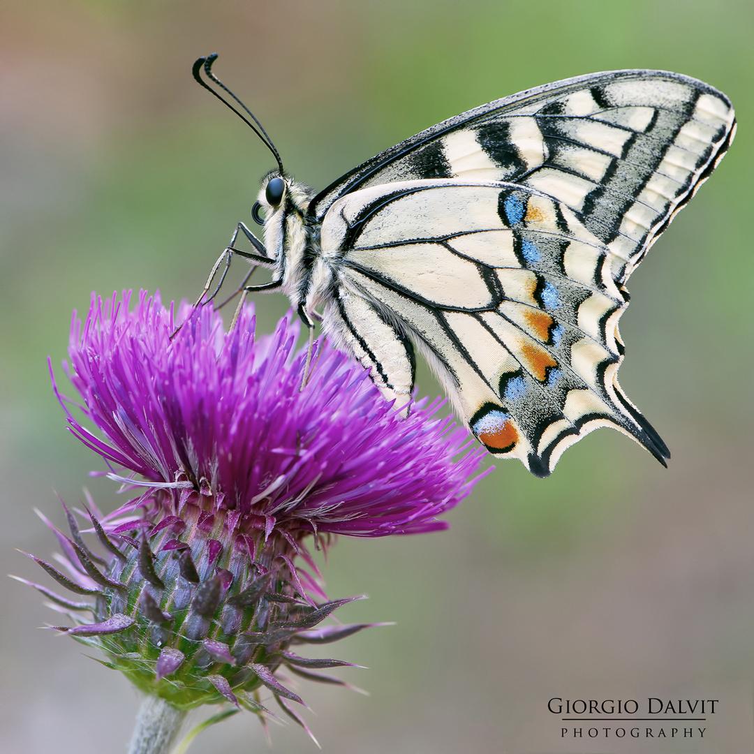 Papilio machaon ©Dalvit Giorgio