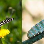 Papilio machaon + larva Linnaeus, 1758