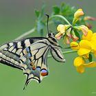 Papilio machaon - Linnaeus 1758 in nature