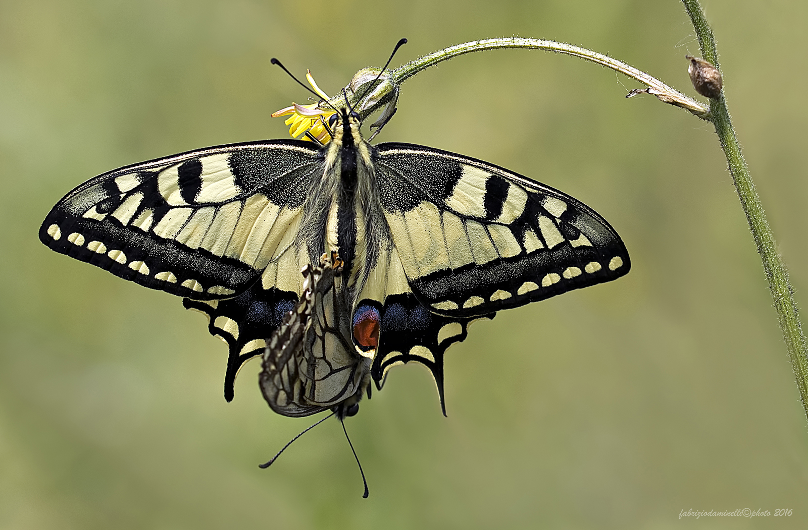 Papilio machaon  - mating