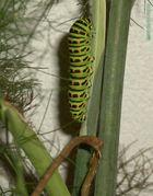 Papilio Machaon rest noch eine Raupe und dann eine Pupe