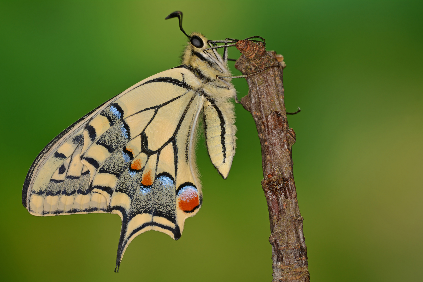 Papilio machaon ruettimanni