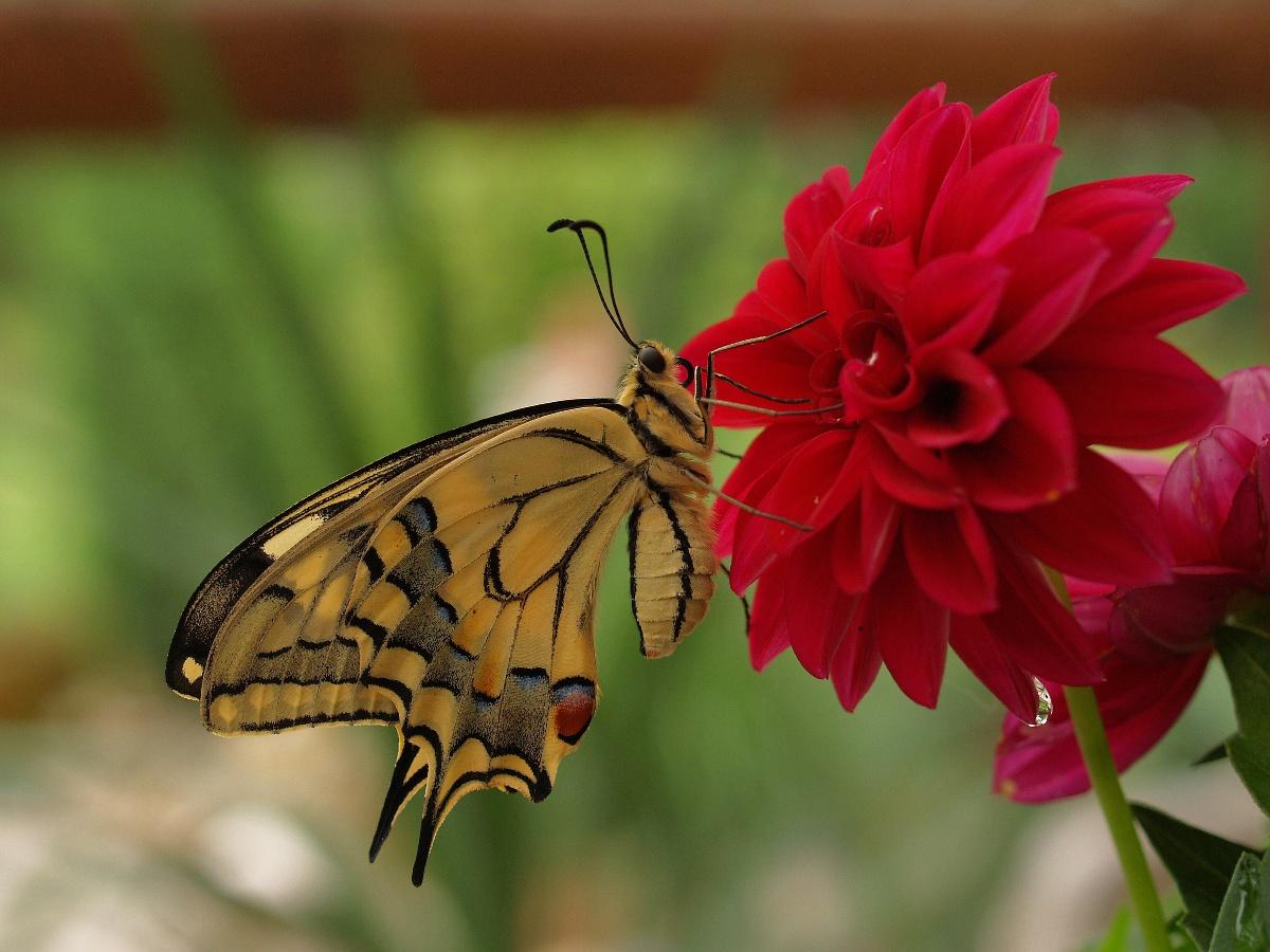 Papilio machaon-Schmetterling und Blume