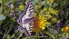 Papilio machaon - Schwalbenschwanz auf der Hohen Salve in Tirol