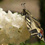 Papilio machaon - un poco de otra manera
