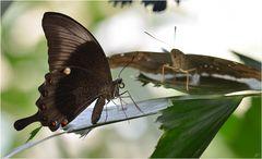 Papilio palinurus & Co.