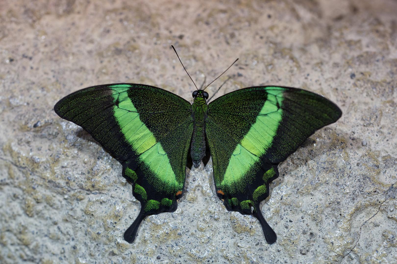 """--Papilio palinurus- Neonschwalbenschwanz-- danke    """"Alicefairy"""" für die Bestimmungshilfe"""