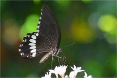 Papilio polytes