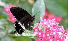 Papilio polytes romulos cyrus