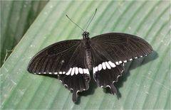 Papilio polytes romulus cyrus