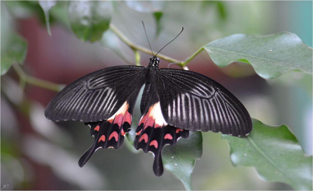 Papilio polytes romulus theseus