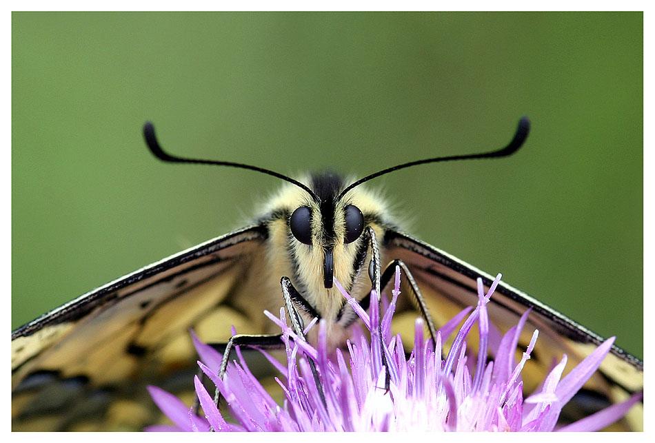 Papilio Portrait
