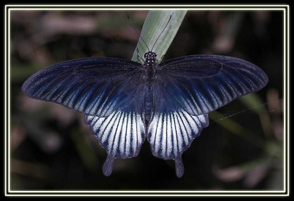 Papilio Ulyses