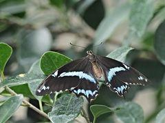 Papilion 34