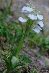 "~ papilionacea ""albiflora"" ~"