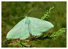 Papilionara