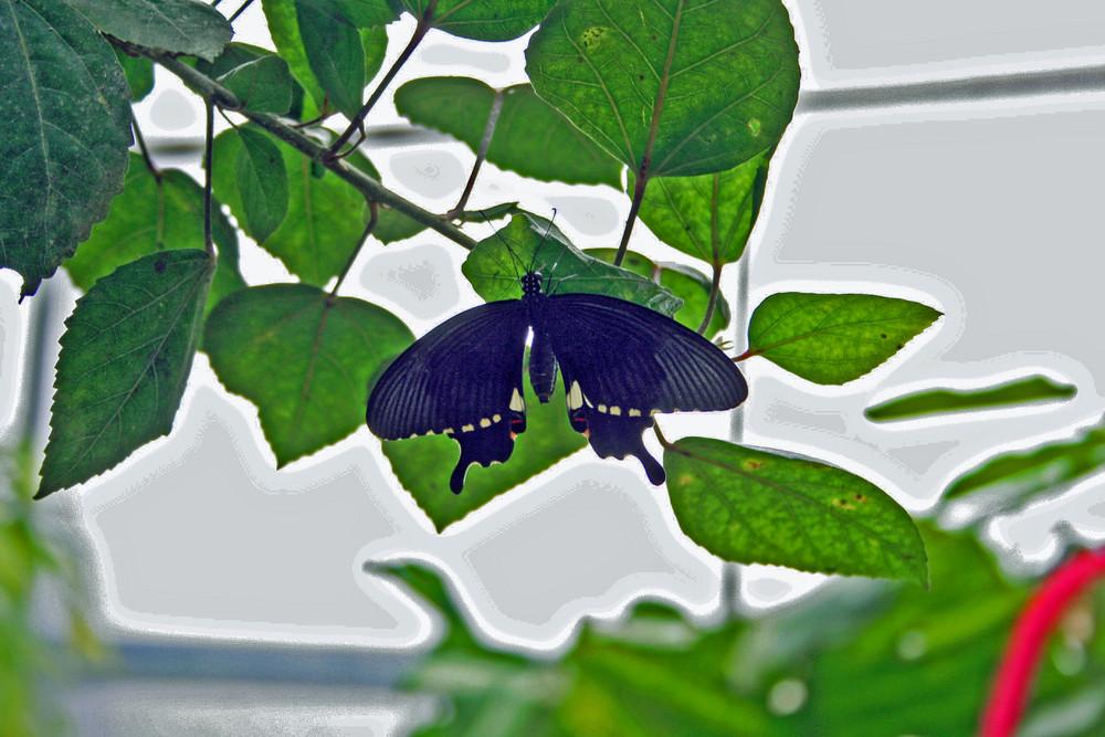 Papiliorama 12