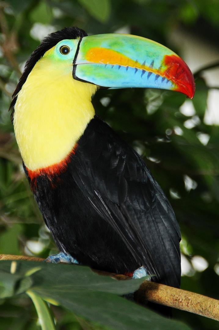 Papilliorama, Tucan