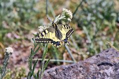 Papillo machaon-Schwalbenschwanz