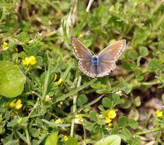 Papillon .. (1) vu de dessus