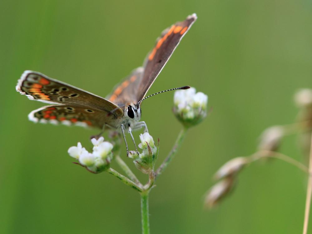 papillon 2
