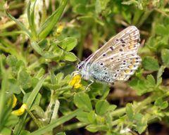 papillon (2) de côté ...