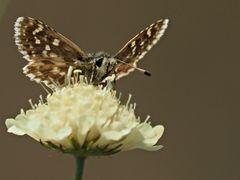 Papillon 20