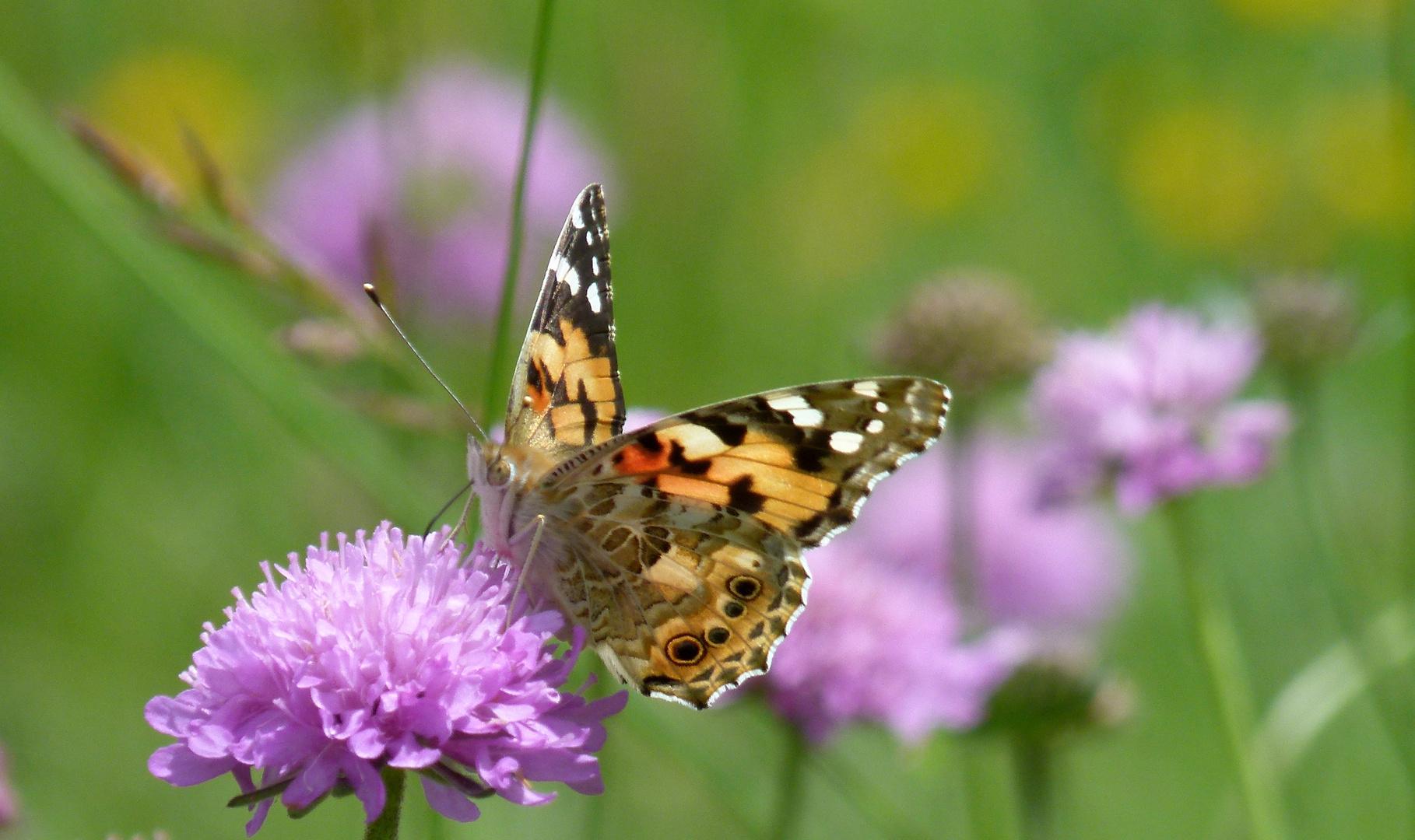 * papillon *
