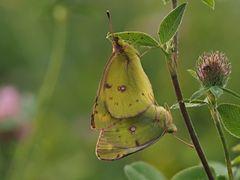Papillon 25