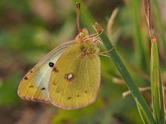 papillon 27