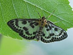 papillon 29