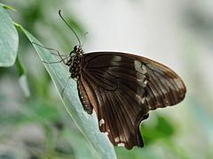 Papillon 33